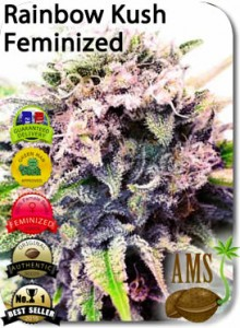 AMS_Rainbow_Kush_Seeds