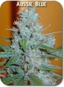 Aussie_Blues_Seeds