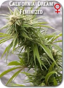 California_Dream_Feminized_Seeds