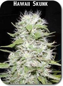Hawaii-Skunk_Seeds