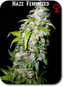 Haze_Feminized_Seeds