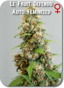 Le_Fruit_Defendu_AUTO_Feminized_Seeds