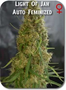 Light_of_Jah_AUTO_Feminzed_Seeds