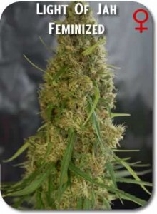 Light_of_Jah_Feminzed_Seeds