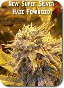 New_Super_Silver_Haze_Feminized_Seeds