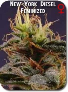 New_York_Diesel_Feminized_Seeds