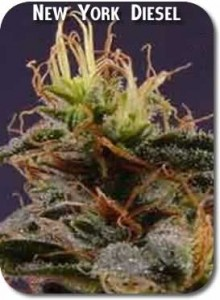 New_York_Diesel_Seeds