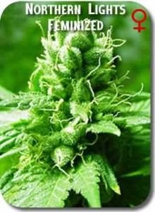 Northern_Lights_Feminized_Seeds