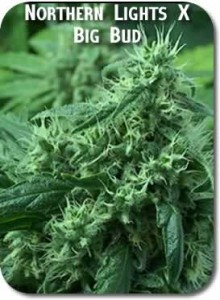 Northern_Lights_X_Big_Bud_Seeds