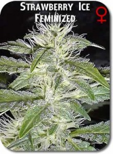 Strawberry_Ice_Feminized_Seeds