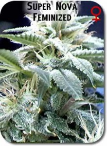 Supernova_Feminized_Seeds