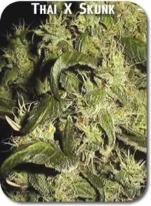 Thai_X_Skunk_Seeds