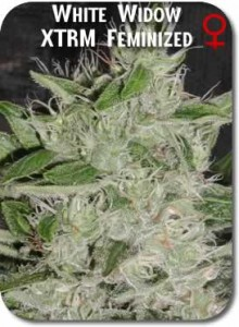 White_Widow_XTRM_Feminized_Seeds